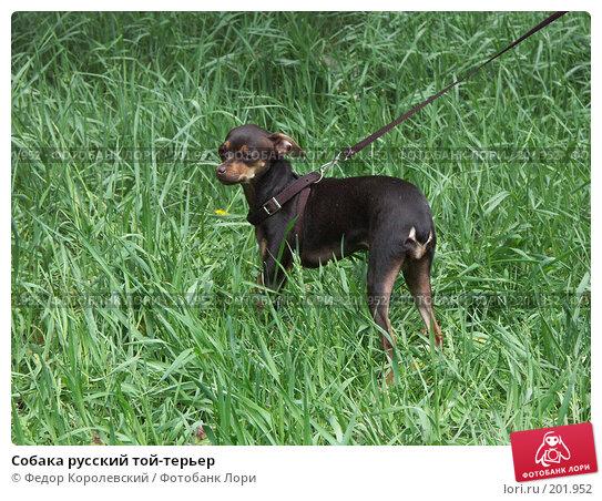 Собака русский той-терьер, фото № 201952, снято 25 апреля 2004 г. (c) Федор Королевский / Фотобанк Лори