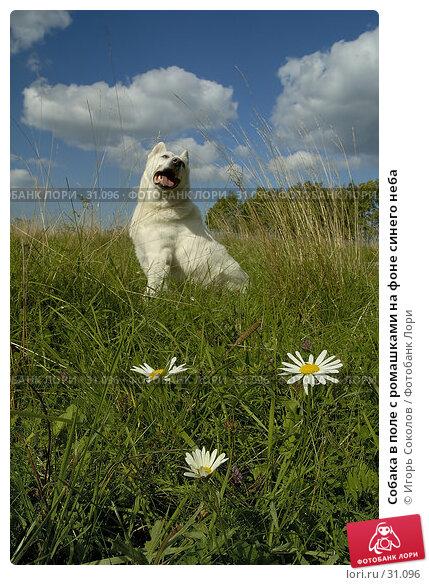 Купить «Собака в поле с ромашками на фоне синего неба», фото № 31096, снято 25 ноября 2017 г. (c) Игорь Соколов / Фотобанк Лори
