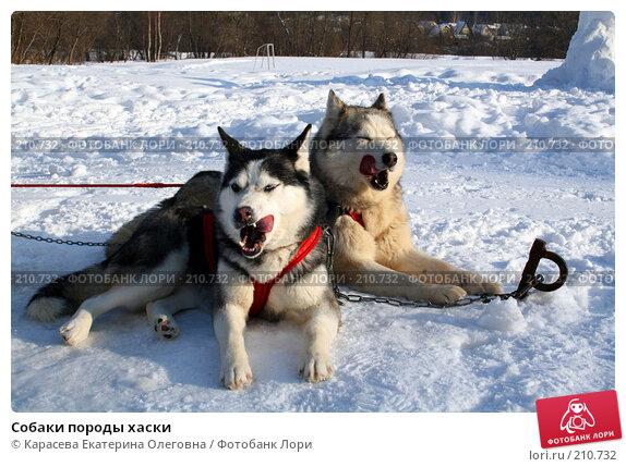 Собаки породы хаски, фото № 210732, снято 5 февраля 2008 г. (c) Карасева Екатерина Олеговна / Фотобанк Лори
