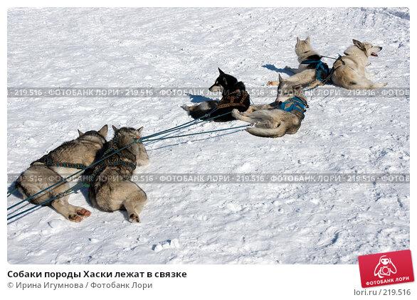 Собаки породы Хаски лежат в связке, фото № 219516, снято 9 марта 2008 г. (c) Ирина Игумнова / Фотобанк Лори