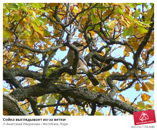 Сойка выглядывает из-за ветки, фото № 110640, снято 30 сентября 2007 г. (c) Анастасия Некрасова / Фотобанк Лори