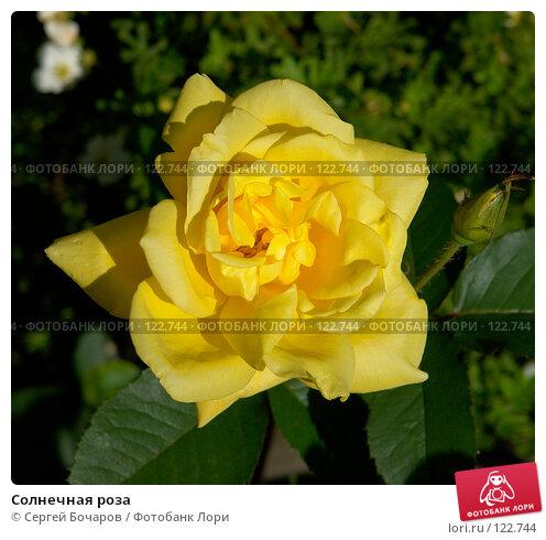 Солнечная роза, фото № 122744, снято 2 августа 2006 г. (c) Сергей Бочаров / Фотобанк Лори
