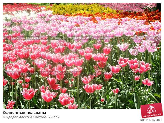 Купить «Солнечные тюльпаны», фото № 47480, снято 22 мая 2007 г. (c) Удодов Алексей / Фотобанк Лори