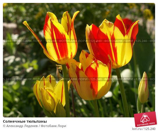 Купить «Солнечные тюльпаны», фото № 125240, снято 15 мая 2007 г. (c) Александр Леденев / Фотобанк Лори