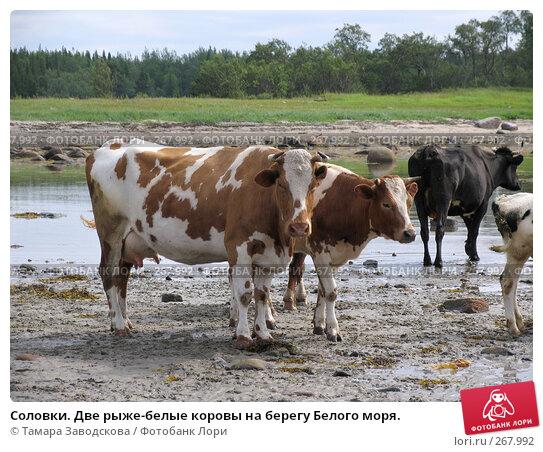 Соловки. Две рыже-белые коровы на берегу Белого моря., эксклюзивное фото № 267992, снято 16 июля 2007 г. (c) Тамара Заводскова / Фотобанк Лори