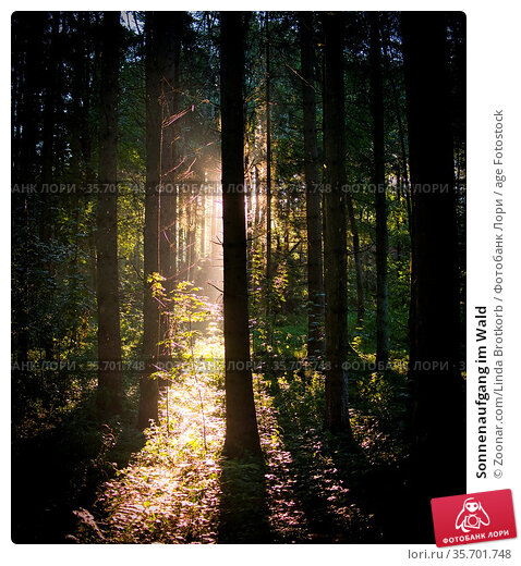 Sonnenaufgang im Wald. Стоковое фото, фотограф Zoonar.com/Linda Brotkorb / age Fotostock / Фотобанк Лори
