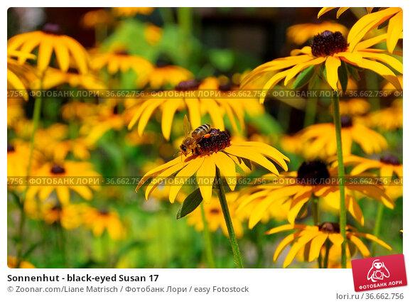 Sonnenhut - black-eyed Susan 17. Стоковое фото, фотограф Zoonar.com/Liane Matrisch / easy Fotostock / Фотобанк Лори