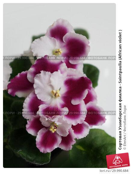 Купить «Сортовая Узамбарская фиалка - Saintpaulia (African violet )», фото № 29990684, снято 11 июля 2020 г. (c) ElenArt / Фотобанк Лори