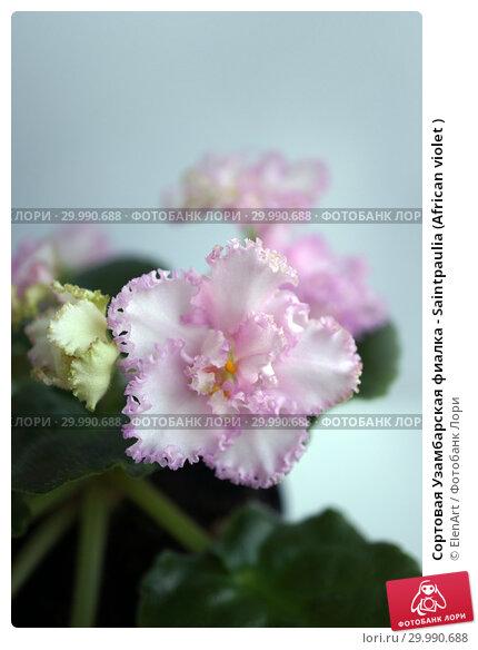 Купить «Сортовая Узамбарская фиалка - Saintpaulia (African violet )», фото № 29990688, снято 9 июля 2020 г. (c) ElenArt / Фотобанк Лори