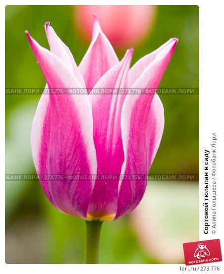 Сортовой тюльпан в саду, эксклюзивное фото № 273776, снято 2 мая 2008 г. (c) Алина Голышева / Фотобанк Лори