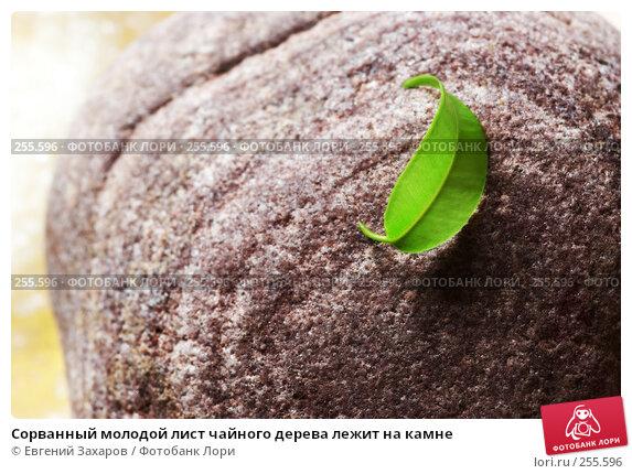Сорванный молодой лист чайного дерева лежит на камне, фото № 255596, снято 18 апреля 2008 г. (c) Евгений Захаров / Фотобанк Лори