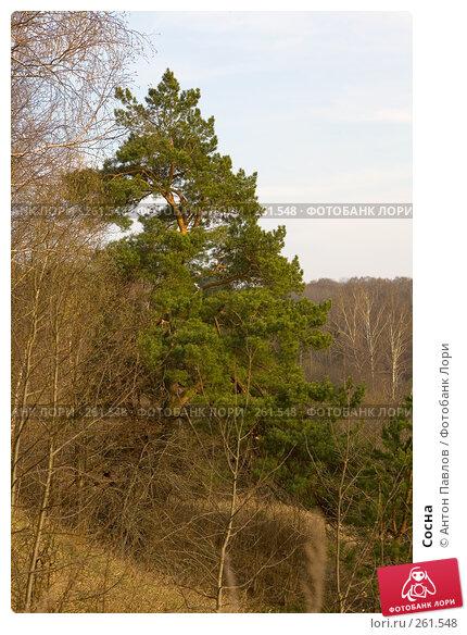 Сосна, фото № 261548, снято 10 апреля 2008 г. (c) Антон Павлов / Фотобанк Лори