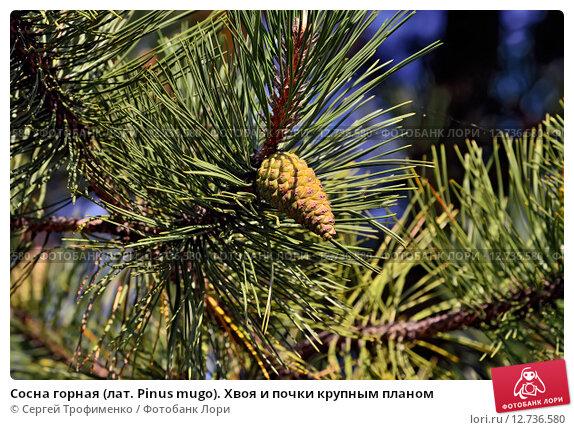 Купить «Сосна горная (лат. Pinus mugo). Хвоя и почки крупным планом», фото № 12736580, снято 4 апреля 2015 г. (c) Сергей Трофименко / Фотобанк Лори