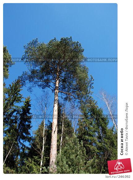 Купить «Сосна и небо», эксклюзивное фото № 244092, снято 30 марта 2008 г. (c) Alexei Tavix / Фотобанк Лори