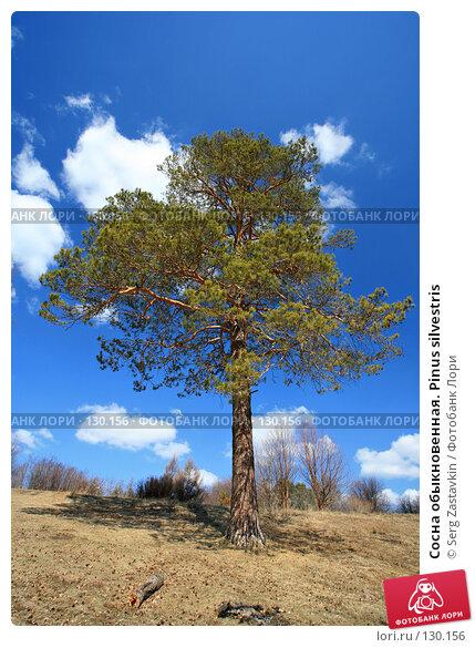 Сосна обыкновенная. Pinus silvestris, фото № 130156, снято 6 мая 2006 г. (c) Serg Zastavkin / Фотобанк Лори
