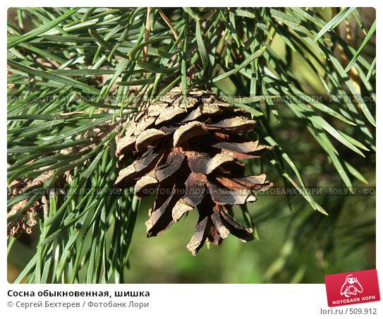 Купить «Сосна обыкновенная, шишка», фото № 509912, снято 4 сентября 2004 г. (c) Сергей Бехтерев / Фотобанк Лори