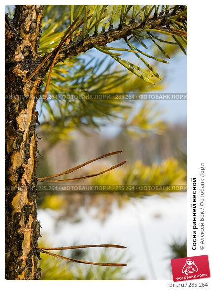 Сосна ранней весной, эксклюзивное фото № 285264, снято 10 марта 2008 г. (c) Алексей Бок / Фотобанк Лори