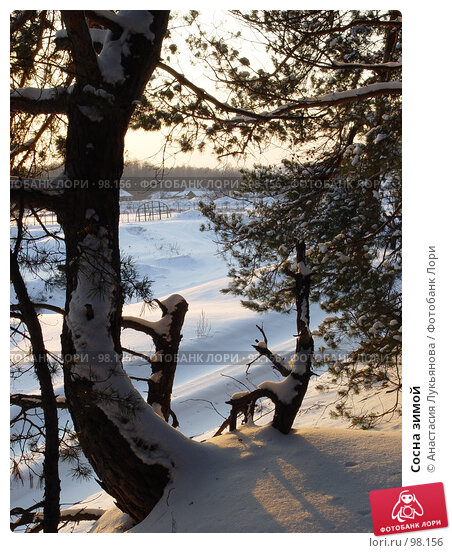 Сосна зимой, фото № 98156, снято 31 января 2007 г. (c) Анастасия Лукьянова / Фотобанк Лори