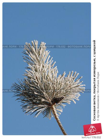 Сосновая ветка, покрытая изморозью, с шишкой, фото № 178032, снято 14 января 2008 г. (c) Артём Анисимов / Фотобанк Лори