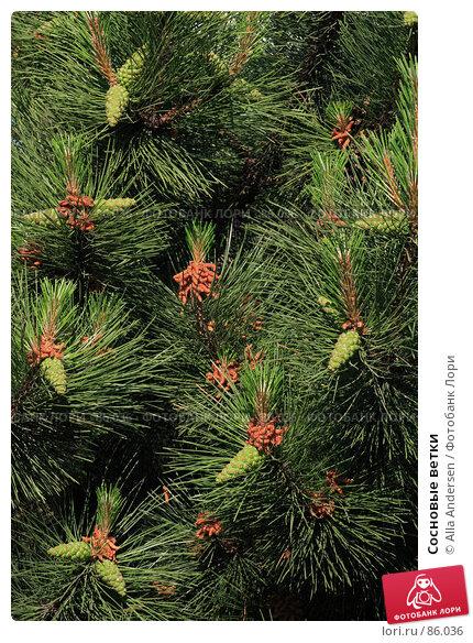 Купить «Сосновые ветки», фото № 86036, снято 3 июня 2007 г. (c) Alla Andersen / Фотобанк Лори