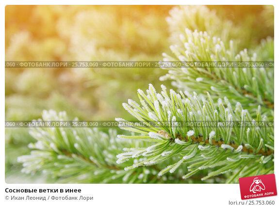 Сосновые ветки в инее, фото № 25753060, снято 9 октября 2016 г. (c) Икан Леонид / Фотобанк Лори