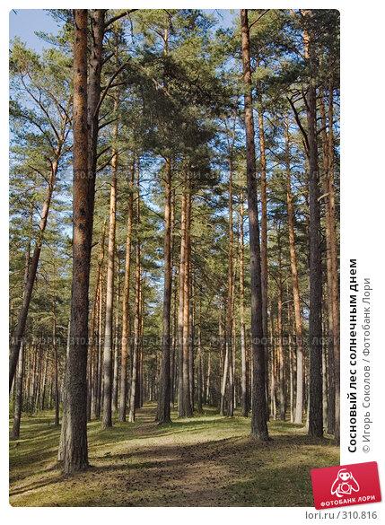 Сосновый лес солнечным днем, фото № 310816, снято 16 мая 2008 г. (c) Игорь Соколов / Фотобанк Лори