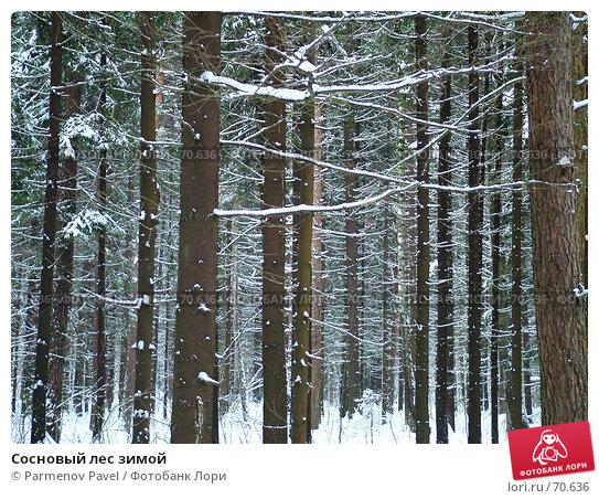 Сосновый лес зимой, фото № 70636, снято 7 января 2005 г. (c) Parmenov Pavel / Фотобанк Лори