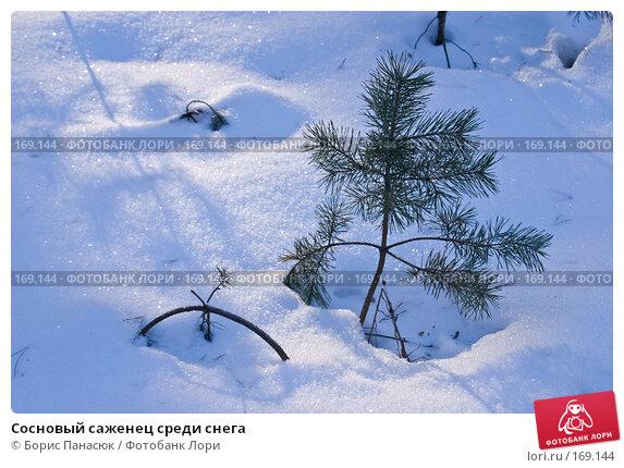 Купить «Сосновый саженец среди снега», фото № 169144, снято 31 декабря 2007 г. (c) Борис Панасюк / Фотобанк Лори