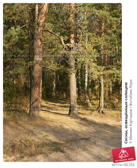 Сосны, освещённые солнцем, эксклюзивное фото № 62312, снято 1 октября 2005 г. (c) Михаил Карташов / Фотобанк Лори