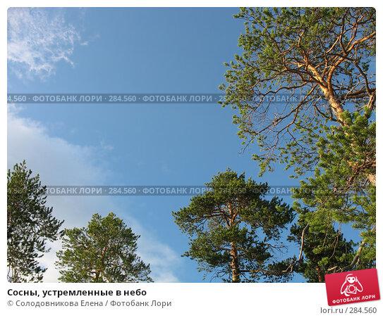 Сосны, устремленные в небо, фото № 284560, снято 29 июля 2007 г. (c) Солодовникова Елена / Фотобанк Лори