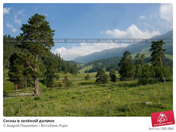 Купить «Сосны в зелёной долине», фото № 283084, снято 23 июля 2007 г. (c) Андрей Пашкевич / Фотобанк Лори