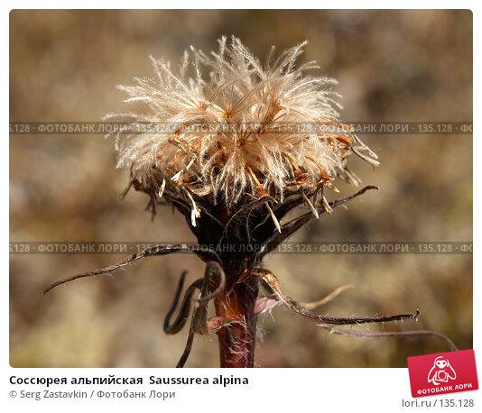 Соссюрея альпийская  Saussurea alpina, фото № 135128, снято 15 августа 2006 г. (c) Serg Zastavkin / Фотобанк Лори