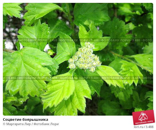 Купить «Соцветие боярышника», фото № 3488, снято 20 мая 2006 г. (c) Маргарита Лир / Фотобанк Лори