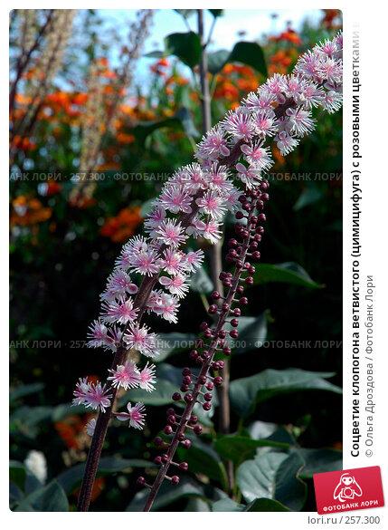 Соцветие клопогона ветвистого (цимицифуга) с розовыми цветками в осеннем саду, сорт 'Bгunette', фото № 257300, снято 17 сентября 2006 г. (c) Ольга Дроздова / Фотобанк Лори