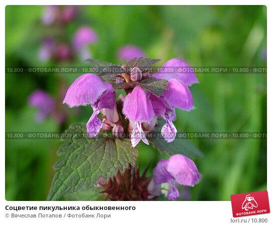 Соцветие пикульника обыкновенного, фото № 10800, снято 14 мая 2004 г. (c) Вячеслав Потапов / Фотобанк Лори