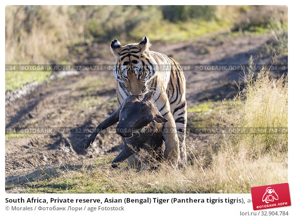 South Africa, Private reserve, Asian (Bengal) Tiger (Panthera tigris tigris), adult female with a warthog (Phacochoerus africanus). Стоковое фото, фотограф Morales / age Fotostock / Фотобанк Лори