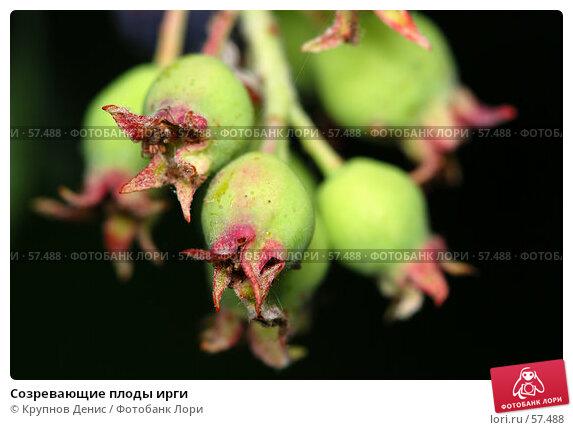 Созревающие плоды ирги, фото № 57488, снято 30 мая 2007 г. (c) Крупнов Денис / Фотобанк Лори
