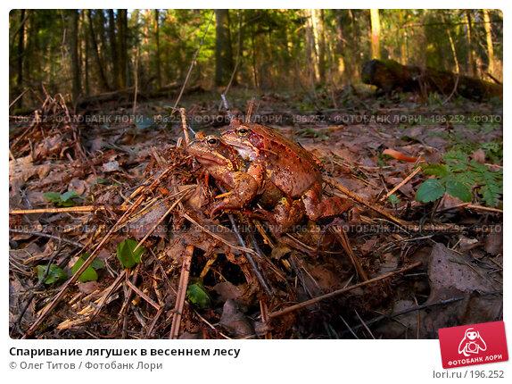 Спаривание лягушек в весеннем лесу, фото № 196252, снято 29 октября 2016 г. (c) Олег Титов / Фотобанк Лори