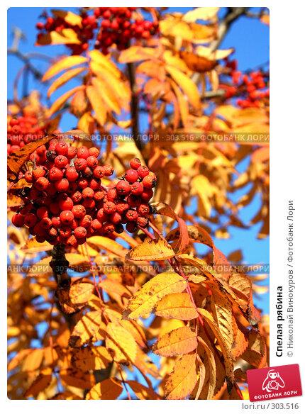 Купить «Спелая рябина», фото № 303516, снято 20 ноября 2018 г. (c) Николай Винокуров / Фотобанк Лори