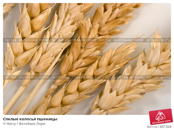 Спелые колосья пшеницы, фото № 307924, снято 10 января 2008 г. (c) Harry / Фотобанк Лори