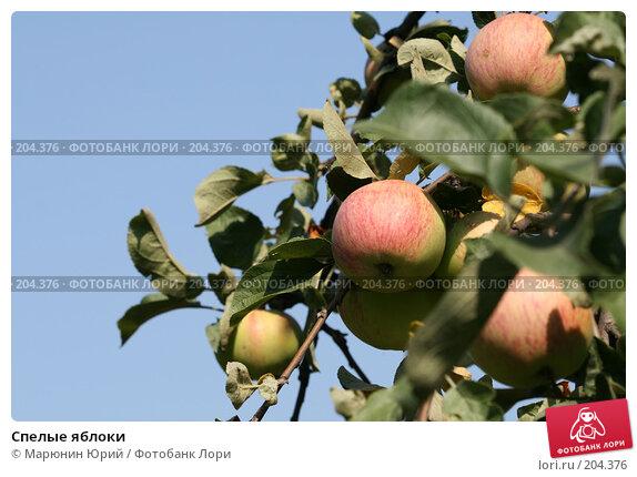 Спелые яблоки, фото № 204376, снято 17 августа 2007 г. (c) Марюнин Юрий / Фотобанк Лори