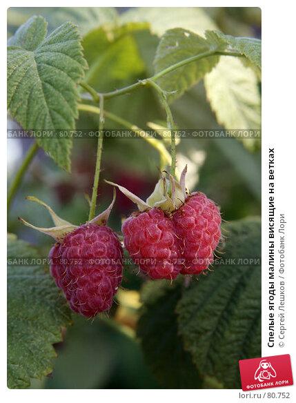 Спелые ягоды малины висящие на ветках, фото № 80752, снято 28 июля 2007 г. (c) Сергей Лешков / Фотобанк Лори