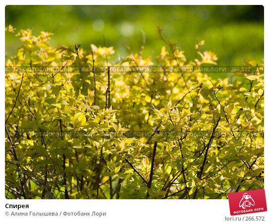 Спирея, эксклюзивное фото № 266572, снято 27 апреля 2008 г. (c) Алина Голышева / Фотобанк Лори