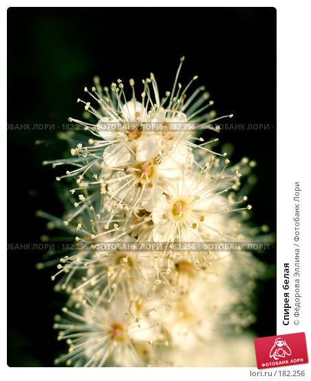 Купить «Спирея белая», фото № 182256, снято 11 сентября 2006 г. (c) Фёдорова Эллина / Фотобанк Лори