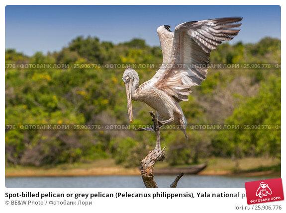 Купить «Spot-billed pelican or grey pelican (Pelecanus philippensis), Yala national patk, Sri Lanka», фото № 25906776, снято 22 апреля 2019 г. (c) BE&W Photo / Фотобанк Лори