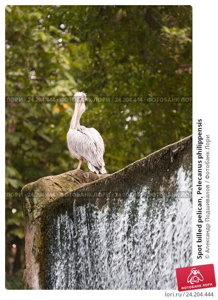 Купить «Spot billed pelican, Pelecanus philippensis», фото № 24204444, снято 15 сентября 2016 г. (c) Александр Подшивалов / Фотобанк Лори