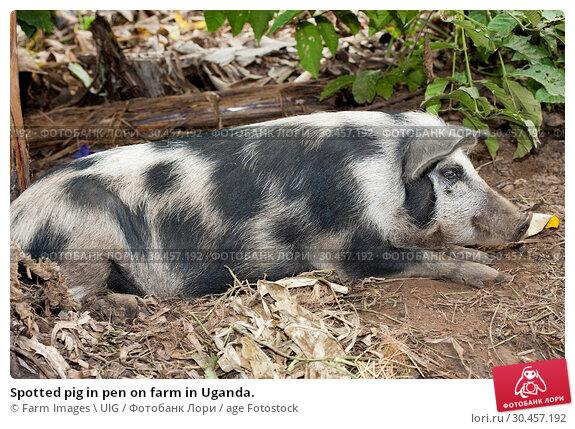 Spotted pig in pen on farm in Uganda. Стоковое фото, фотограф Farm Images \ UIG / age Fotostock / Фотобанк Лори
