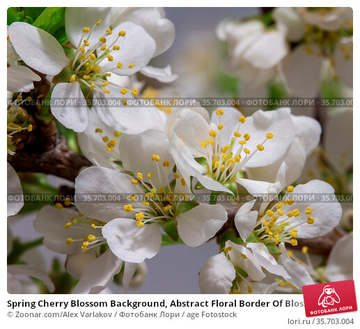 Spring Cherry Blossom Background, Abstract Floral Border Of Blossoming... Стоковое фото, фотограф Zoonar.com/Alex Varlakov / age Fotostock / Фотобанк Лори