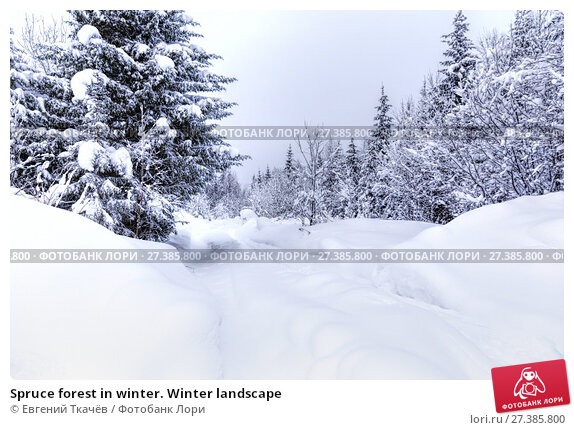 Купить «Spruce forest in winter. Winter landscape», фото № 27385800, снято 3 января 2016 г. (c) Евгений Ткачёв / Фотобанк Лори