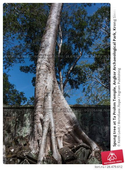Spung tree at Ta Prohm Temple, Angkor Archaeological Park, Krong Siem Reap, Siem Reap, Cambodia (2016 год). Стоковое фото, фотограф Keith Levit / Ingram Publishing / Фотобанк Лори